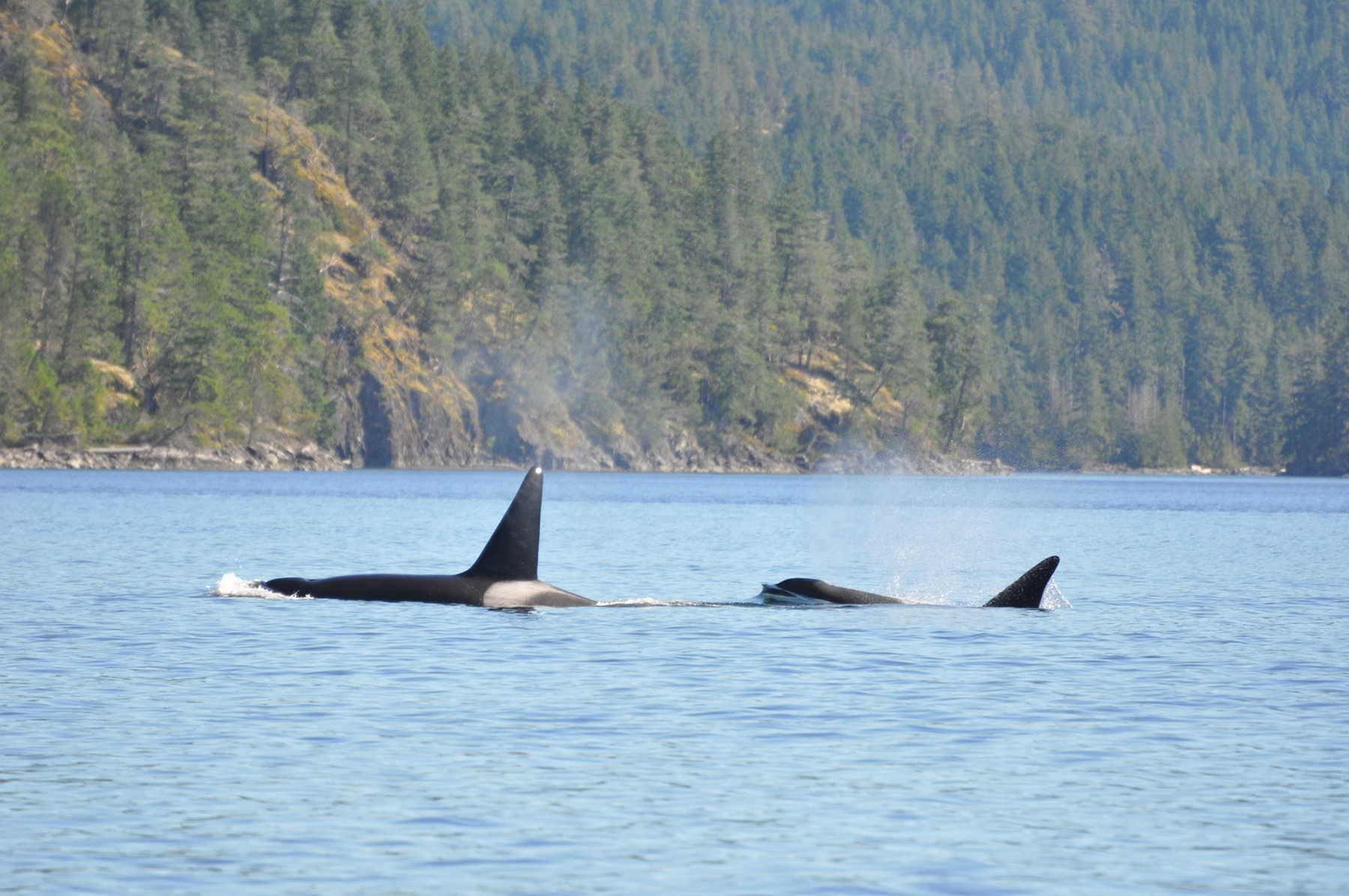 Orcas-off-Penn-Islands-Aug-31-2013-3.jpg